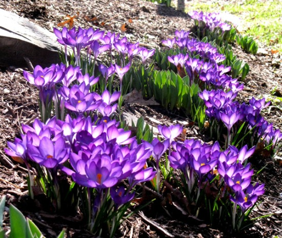 purplecrocus600
